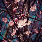 桜にソックリ!外国人が愛する海外の花木が美しい