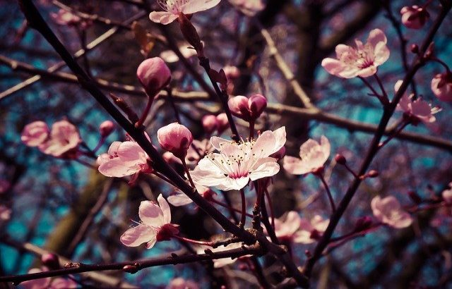 海外で発見!桜ソックリ 外国の美しい花木たち