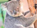 コアラは意外と速く走るのになぜ山火事から逃げられないの?
