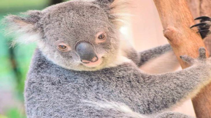 コアラは意外と速く走るのになぜ山火事で逃げられないの?