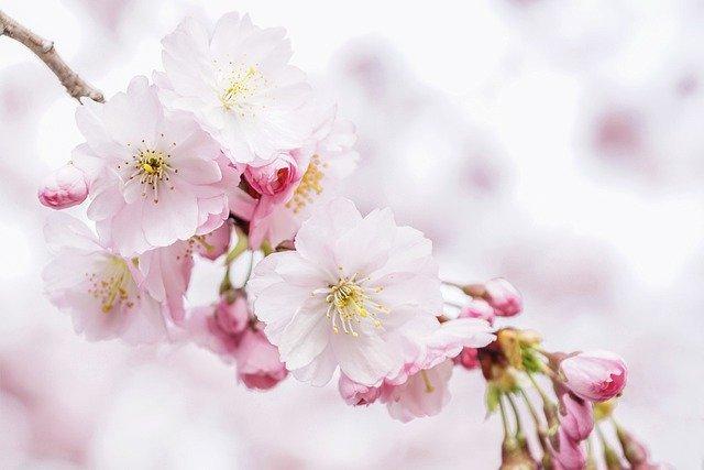 エア花見にオススメの高画質の桜動画10選