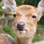 コロナ禍で奈良の鹿が激痩せはデマ?!むしろ健康になっていた